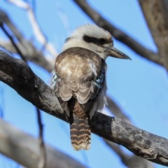 Dacelo novaeguineae (Laughing Kookaburra) at Gossan Hill - 27 Aug 2020 by Alison Milton