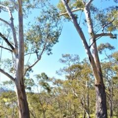 Eucalyptus pilularis (Blackbutt) at Longreach, NSW - 27 Aug 2020 by plants