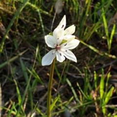 Burchardia umbellata (Milk Maids) at Monument Hill and Roper Street Corridor - 28 Aug 2020 by ClaireSee