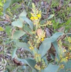 Daviesia latifolia (Hop Bitter-Pea) at Monument Hill and Roper Street Corridor - 28 Aug 2020 by ClaireSee
