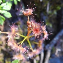 Drosera sp. at ANBG - 27 Aug 2020 by HelenCross