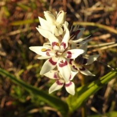 Wurmbea dioica subsp. dioica (Early Nancy) at Mcquoids Hill - 28 Aug 2020 by HelenCross