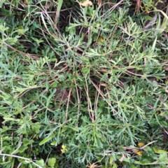 Geranium solanderi var. solanderi (Native Geranium) at Hughes Garran Woodland - 27 Aug 2020 by ruthkerruish