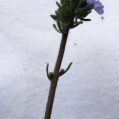 Linaria arvensis (Corn Toadflax) at Garran, ACT - 27 Aug 2020 by ruthkerruish
