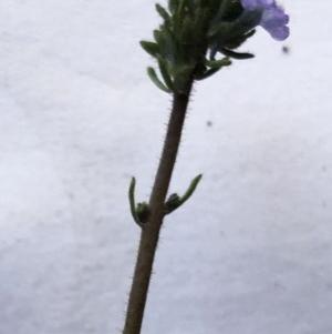 Linaria arvensis at Hughes Garran Woodland - 27 Aug 2020