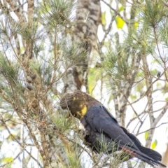 Calyptorhynchus lathami (Glossy Black-Cockatoo) at Penrose - 19 Aug 2020 by Aussiegall