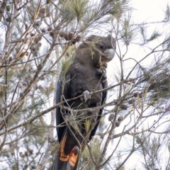 Calyptorhynchus lathami (Glossy Black-Cockatoo) at Penrose - 24 Aug 2020 by Aussiegall