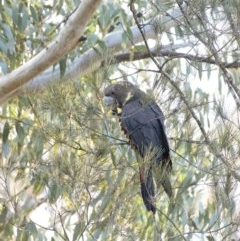 Calyptorhynchus lathami (Glossy Black-Cockatoo) at Penrose - 28 Aug 2020 by Aussiegall