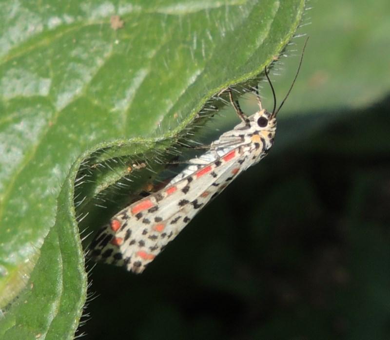 Utetheisa sp. (genus) at Rob Roy Range - 31 Mar 2020