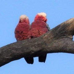 Eolophus roseicapillus (Galah) at Red Hill Nature Reserve - 28 Aug 2020 by JackyF