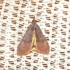 Uresiphita ornithopteralis (Tree Lucerne Moth) at Macgregor, ACT - 29 Aug 2020 by Roger