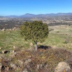 Brachychiton populneus subsp. populneus (Kurrajong) at Urambi Hills - 28 Aug 2020 by jksmits