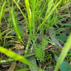 Galium aparine (Goosegrass, Cleavers) at Albury - 27 Aug 2020 by erika