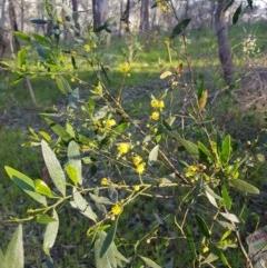 Acacia verniciflua (Varnish Wattle) at Albury - 27 Aug 2020 by erika