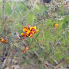 Dillwynia sericea (Egg And Bacon Peas) at Monument Hill and Roper Street Corridor - 27 Aug 2020 by erika