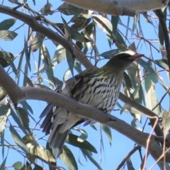 Oriolus sagittatus (Olive-backed Oriole) at Red Hill Nature Reserve - 29 Aug 2020 by JackyF