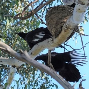 Corcorax melanorhamphos at Red Hill Nature Reserve - 29 Aug 2020