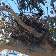 Gymnorhina tibicen (Australian Magpie) at Red Hill Nature Reserve - 29 Aug 2020 by JackyF