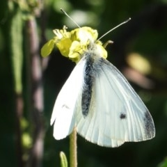 Pieris rapae (Cabbage White) at Hughes Grassy Woodland - 29 Aug 2020 by JackyF