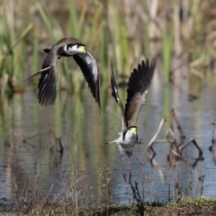 Vanellus miles (Masked Lapwing) at Jerrabomberra Wetlands - 28 Aug 2020 by RodDeb