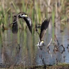 Vanellus miles (Masked Lapwing) at Fyshwick, ACT - 28 Aug 2020 by RodDeb