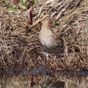 Gallinago hardwickii at Jerrabomberra Wetlands - 28 Aug 2020