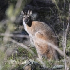 Macropus rufogriseus (Red-necked Wallaby) at The Pinnacle - 29 Aug 2020 by Alison Milton