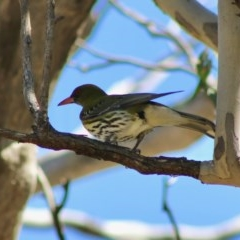Oriolus sagittatus (Olive-backed Oriole) at Red Hill Nature Reserve - 30 Aug 2020 by LisaH