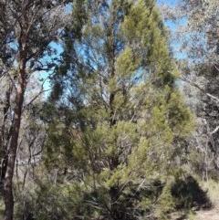 Callitris endlicheri (Black Cypress Pine) at Queanbeyan West, NSW - 30 Aug 2020 by tpreston