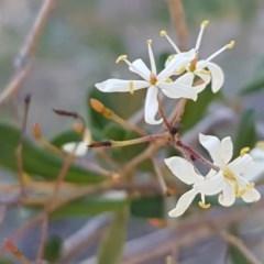 Bursaria spinosa (Native Blackthorn) at Queanbeyan West, NSW - 30 Aug 2020 by tpreston