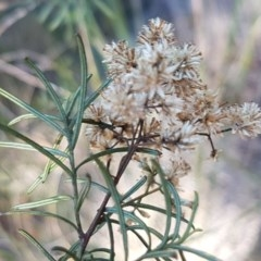 Cassinia quinquefaria (Cassinia) at Queanbeyan West, NSW - 30 Aug 2020 by tpreston