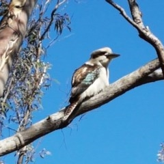 Dacelo novaeguineae (Laughing Kookaburra) at Bicentennial Park Queanbeyan - 30 Aug 2020 by tpreston