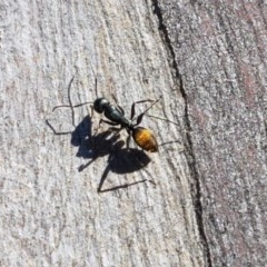 Camponotus aeneopilosus (A Golden-tailed sugar ant) at Carwoola, NSW - 30 Aug 2020 by tpreston