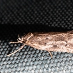 Oecophorinae (subfamily) (Unidentified Oecophorinae concealer moth) at Macgregor, ACT - 30 Aug 2020 by Roger