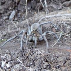Portacosa cinerea (Grey wolf spider) at Rugosa at Yass River - 30 Aug 2020 by SenexRugosus