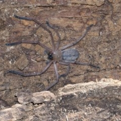 Delena cancerides (Social Huntsman Spider) at Gossan Hill - 28 Aug 2020 by AlisonMilton