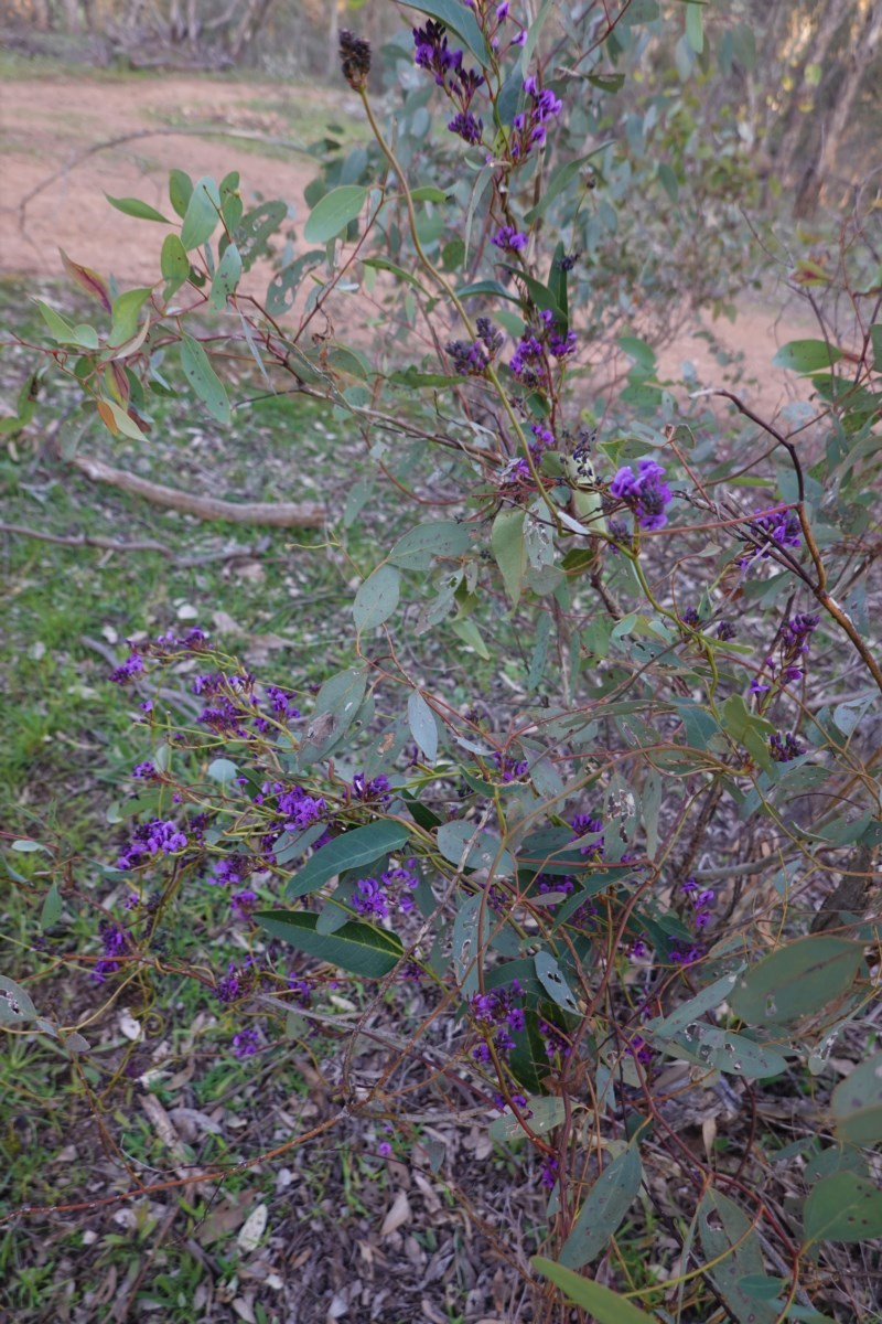 Hardenbergia violacea at Federal Golf Course - 30 Aug 2020