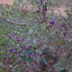 Hardenbergia violacea (False Sarsaparilla) at Federal Golf Course - 30 Aug 2020 by JackyF