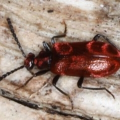 Lemodes coccinea (Scarlet ant beetle) at Mossy Point, NSW - 29 Aug 2020 by jbromilow50