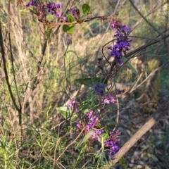 Hardenbergia violacea (False Sarsaparilla) at Red Hill Nature Reserve - 30 Aug 2020 by JackyF