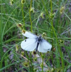 Pieris rapae (Cabbage White) at Albury - 29 Aug 2020 by ClaireSee