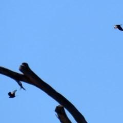 Corvus mellori (Little Raven) at Namadgi National Park - 26 Aug 2020 by RodDeb