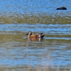 Spatula rhynchotis (Australasian Shoveler) at West Belconnen Pond - 29 Aug 2020 by RodDeb