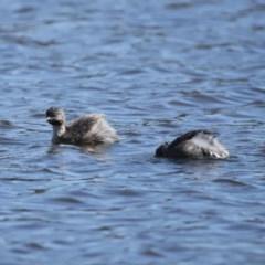 Poliocephalus poliocephalus at West Belconnen Pond - 29 Aug 2020