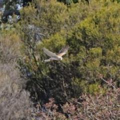 Falco cenchroides (Nankeen Kestrel) at Dunlop, ACT - 29 Aug 2020 by RodDeb