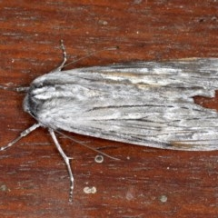 Capusa senilis (Black-banded Wedge Moth) at Mossy Point, NSW - 27 Aug 2020 by jbromilow50