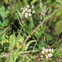 Capsella bursa-pastoris (Shepherd's Purse) at The Pinnacle - 30 Aug 2020 by sangio7
