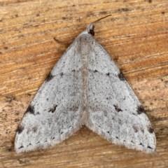 Dichromodes estigmaria (Pale Grey Heath Moth) at Mossy Point, NSW - 28 Aug 2020 by jbromilow50