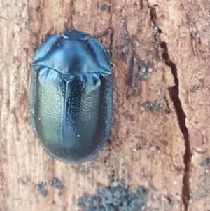 Pterohelaeus striatopunctatus at Umbagong District Park - 31 Aug 2020