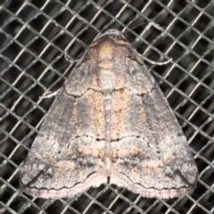 Dysbatus sp. (Dysbatus sp.) at Mossy Point, NSW - 27 Aug 2020 by jbromilow50